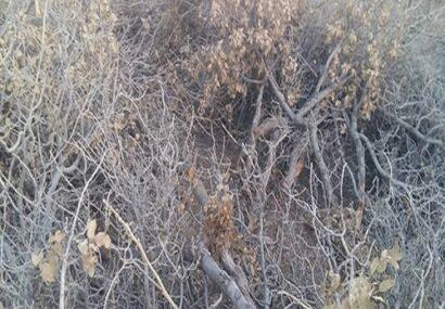 نسل کشی درختان بلوط لرستان